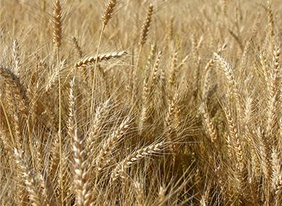 Cereal Grain Seed Species