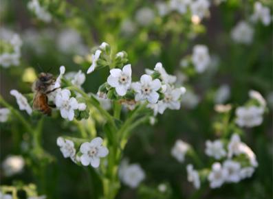 Pollinator Species