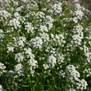 Alyssum - Sweet Tall White