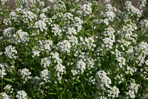 Alyssum Sweet Tall White