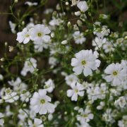 Babys Breath - Covent Garden White