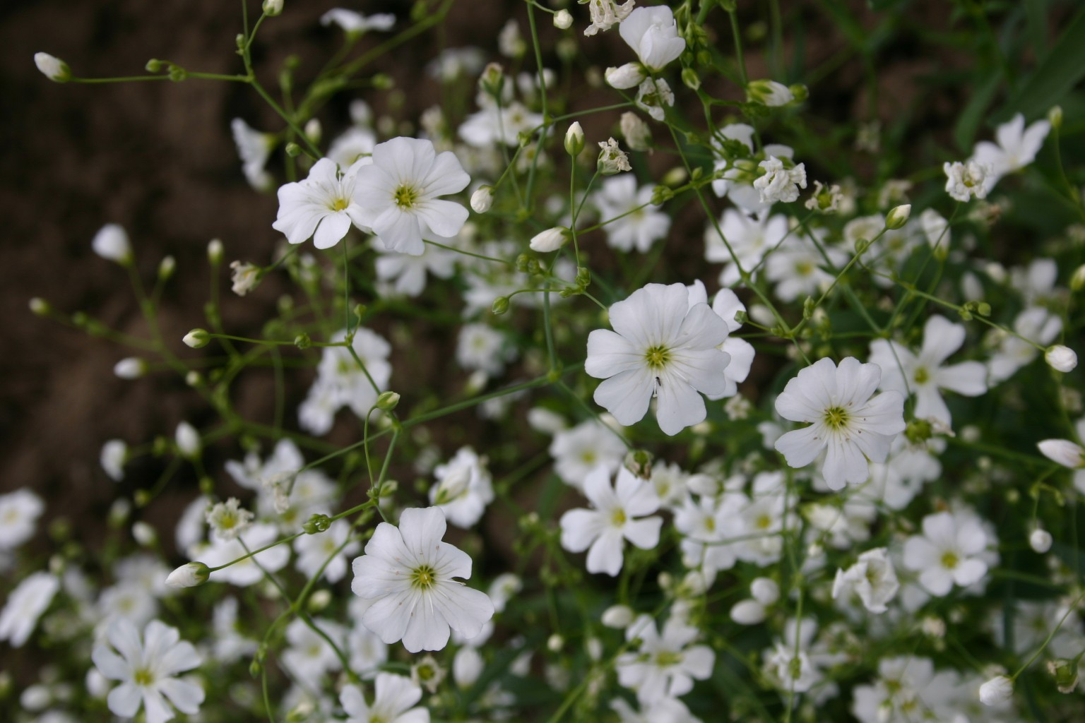 Silver Falls Seed Company Babys Breath Covent Garden White
