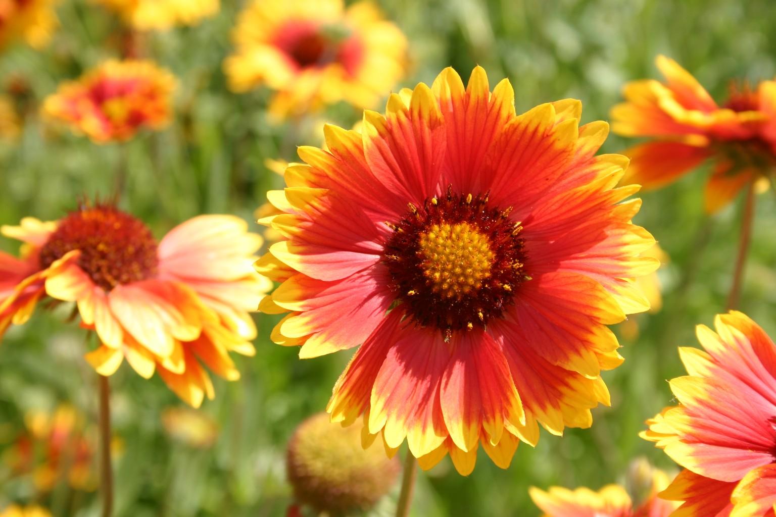 Silver Falls Seed Company Orange Wildflower Mix