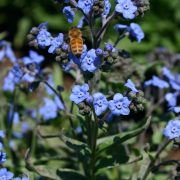 Chinese Forget-Me-Not Blue