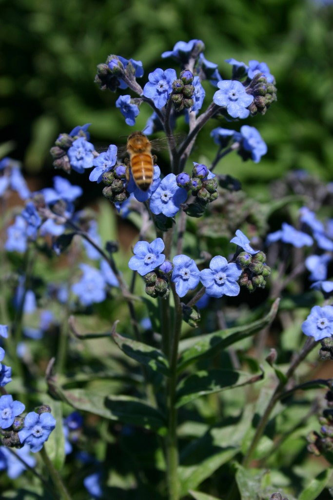 Silver Falls Seed Company Chinese Forget Me Not Blue