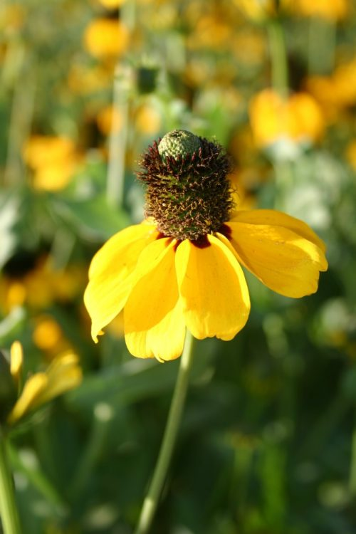 Coneflower Clasping