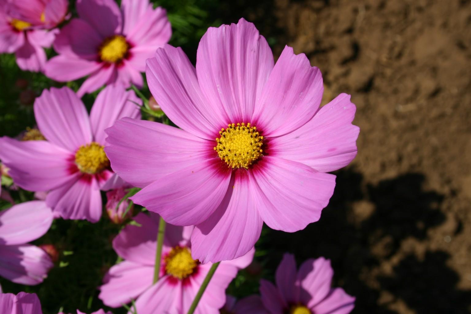 Silver falls seed company cosmos bipinnatus dwarf pink with red cosmos bip dwarf pink wred center izmirmasajfo