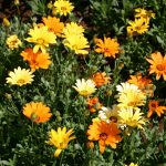 Daisy African Mix
