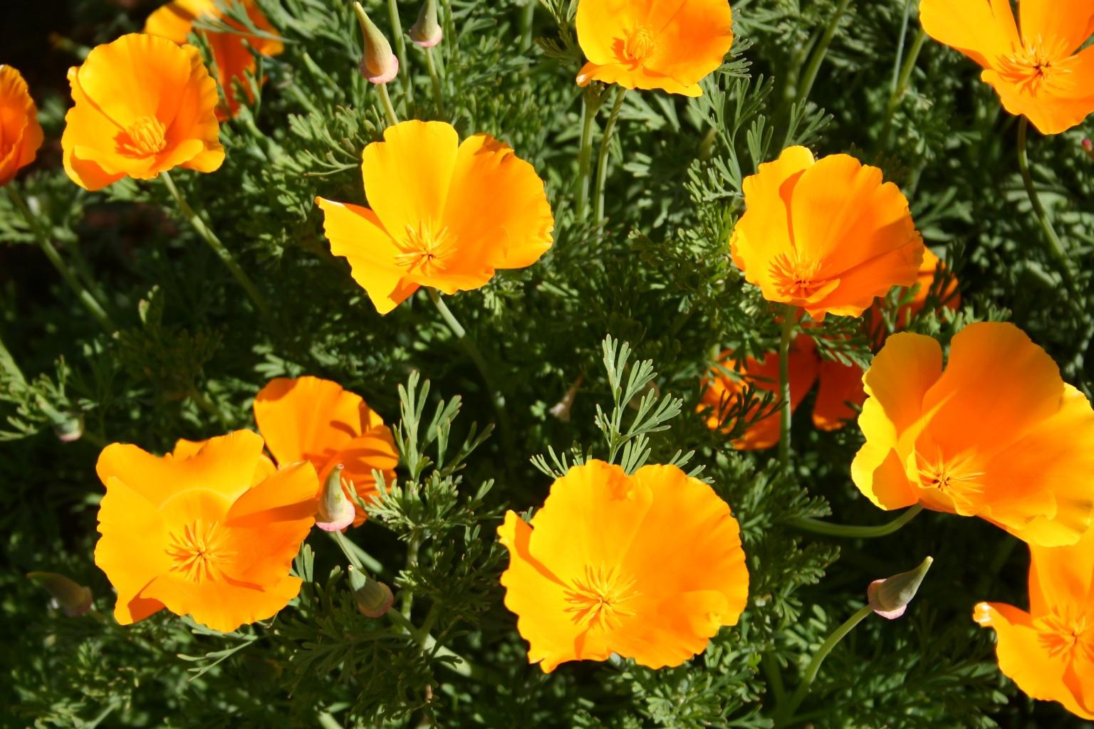 Silver Falls Seed Company Poppy California Orange