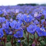 Phacelia Bluebell California