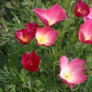 Poppy California Carmine