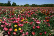 Poppy California Mission Bell Mix