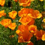 Poppy California Orange