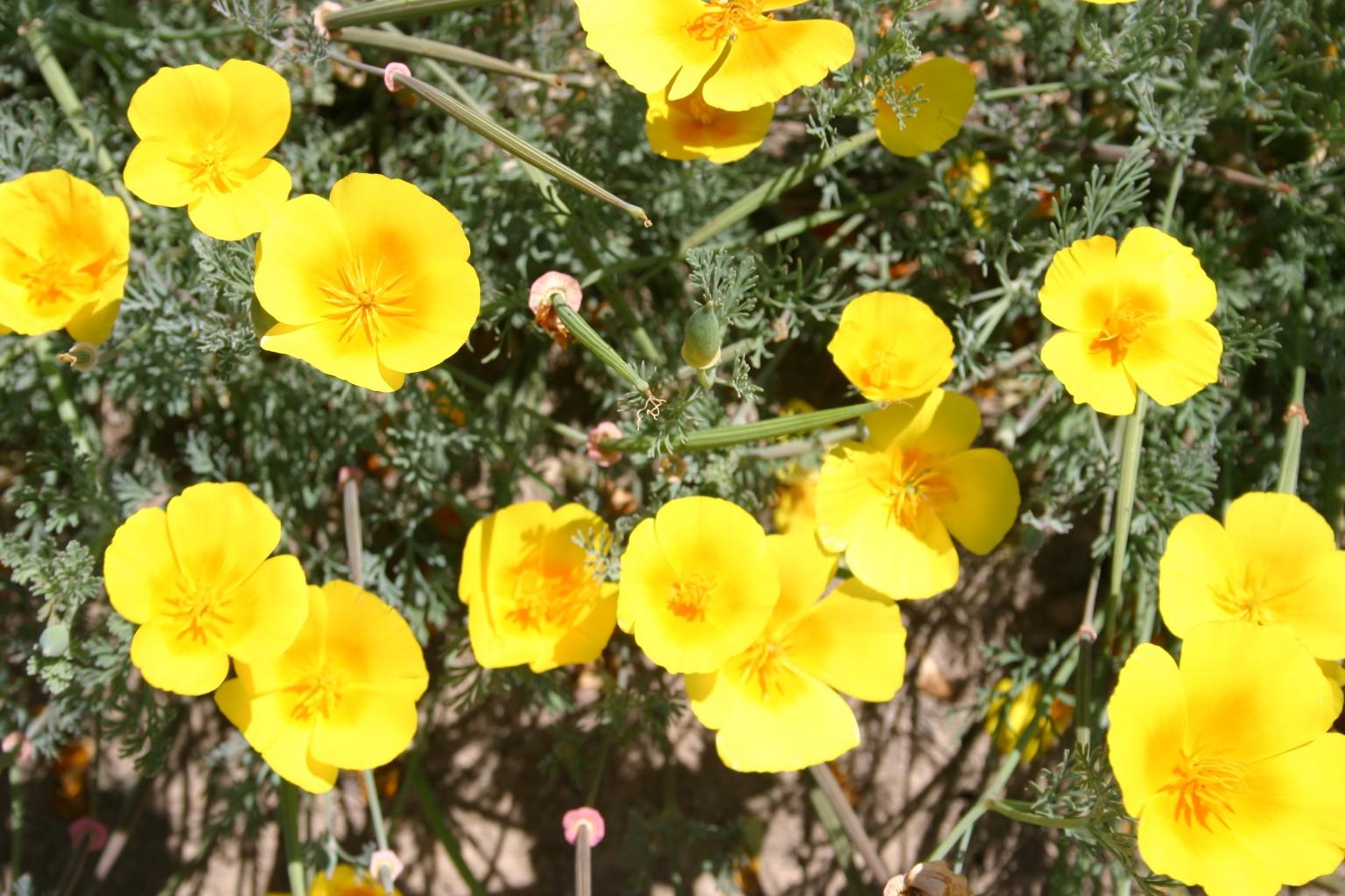Silver Falls Seed Company Poppy California Perennial