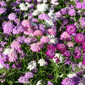 Tall Candytuft mx 63004 51ac 1
