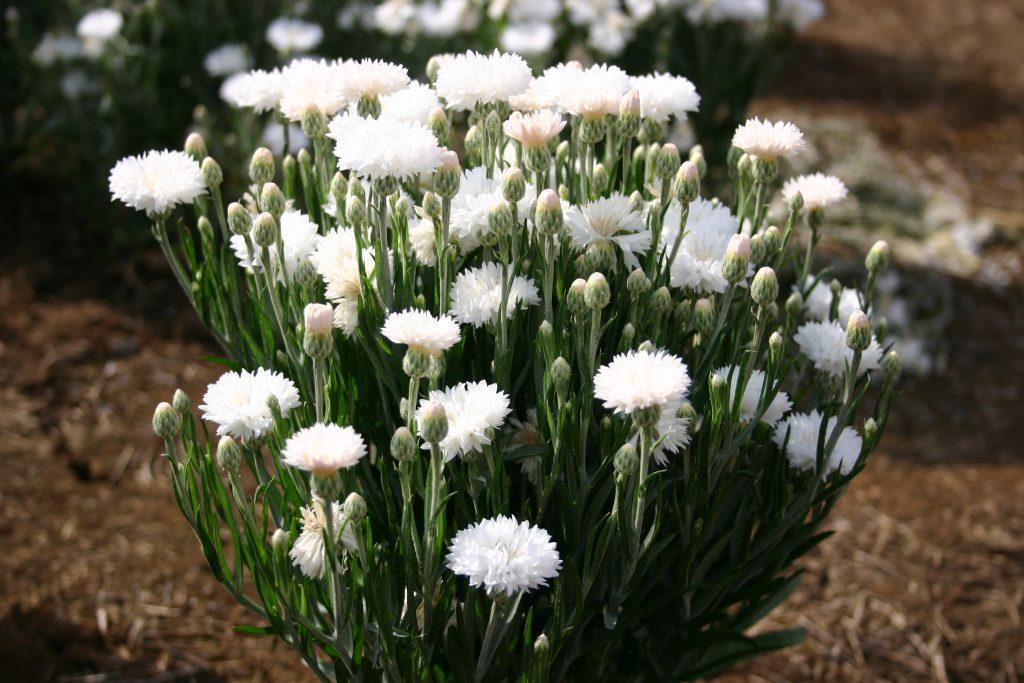 Bachelor Button - Dwarf White