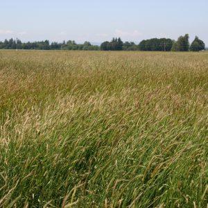 Barley Meadow