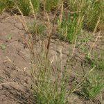 Bentgrass Spike