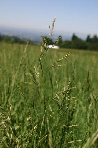 Bluegrass Pine