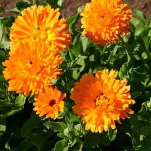 Calendula Pacific Beauty Orange