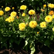 Calendula Pacific Beauty Yellow Dark