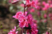 Clarkia Elegant Pink
