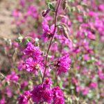 Clarkia Elegant Purple