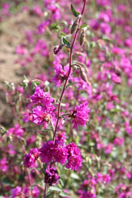 Clarkia Elegant Purple