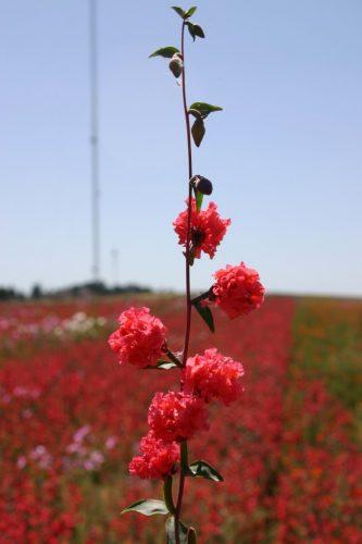 Clarkia Elegant Red