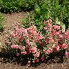 Clarkia Elegant Light Salmon