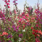 Clarkia Mountain Garland Mix