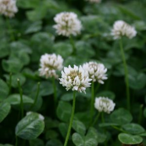 Clover Dutch White