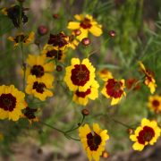 Coreopsis Plains Tall
