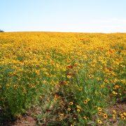 Coreopsis Plains Tall
