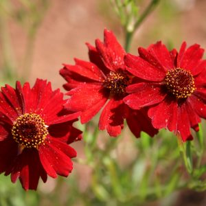Coreopsis Plains Dwarf Red