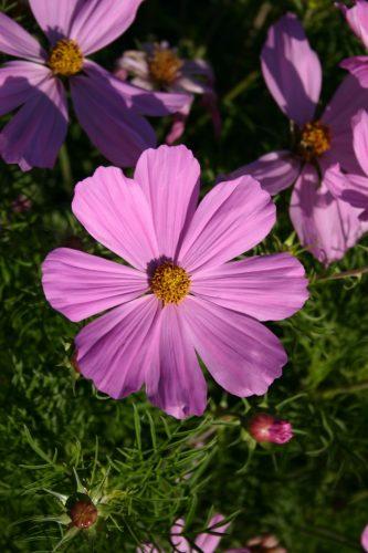 Cosmos Bip Dwarf Pink