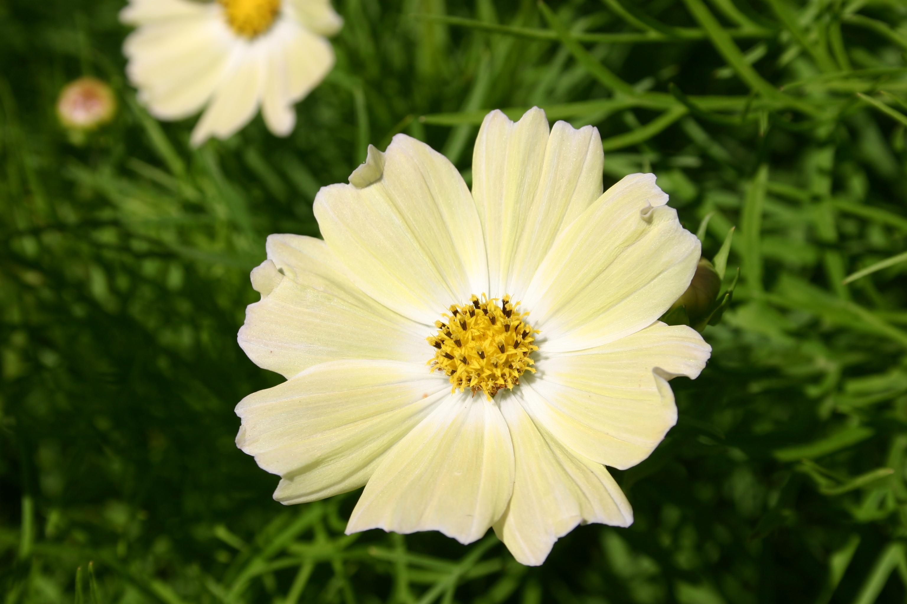 Silver falls seed company cosmos bipinnatus yellow cosmos bipinnatus yellow mightylinksfo