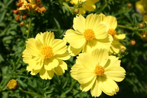 Cosmos Sulphur Dwarf Lemon Yellow