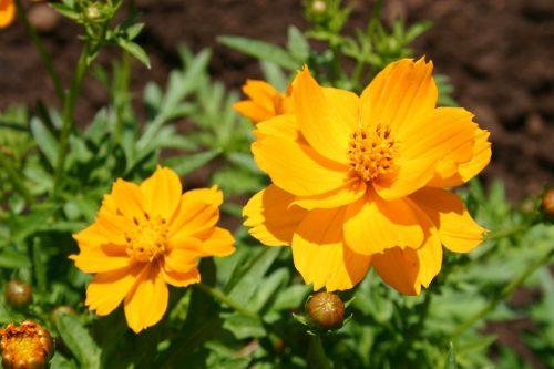 Cosmos Sulphur Dwarf Orange