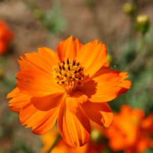 Cosmos Sulphur Klondike Orange