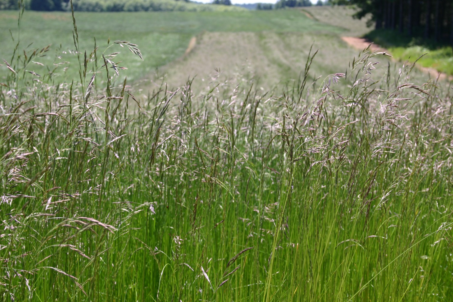 Silver falls seed company fescue native red for Tall ornamental grasses for shaded areas