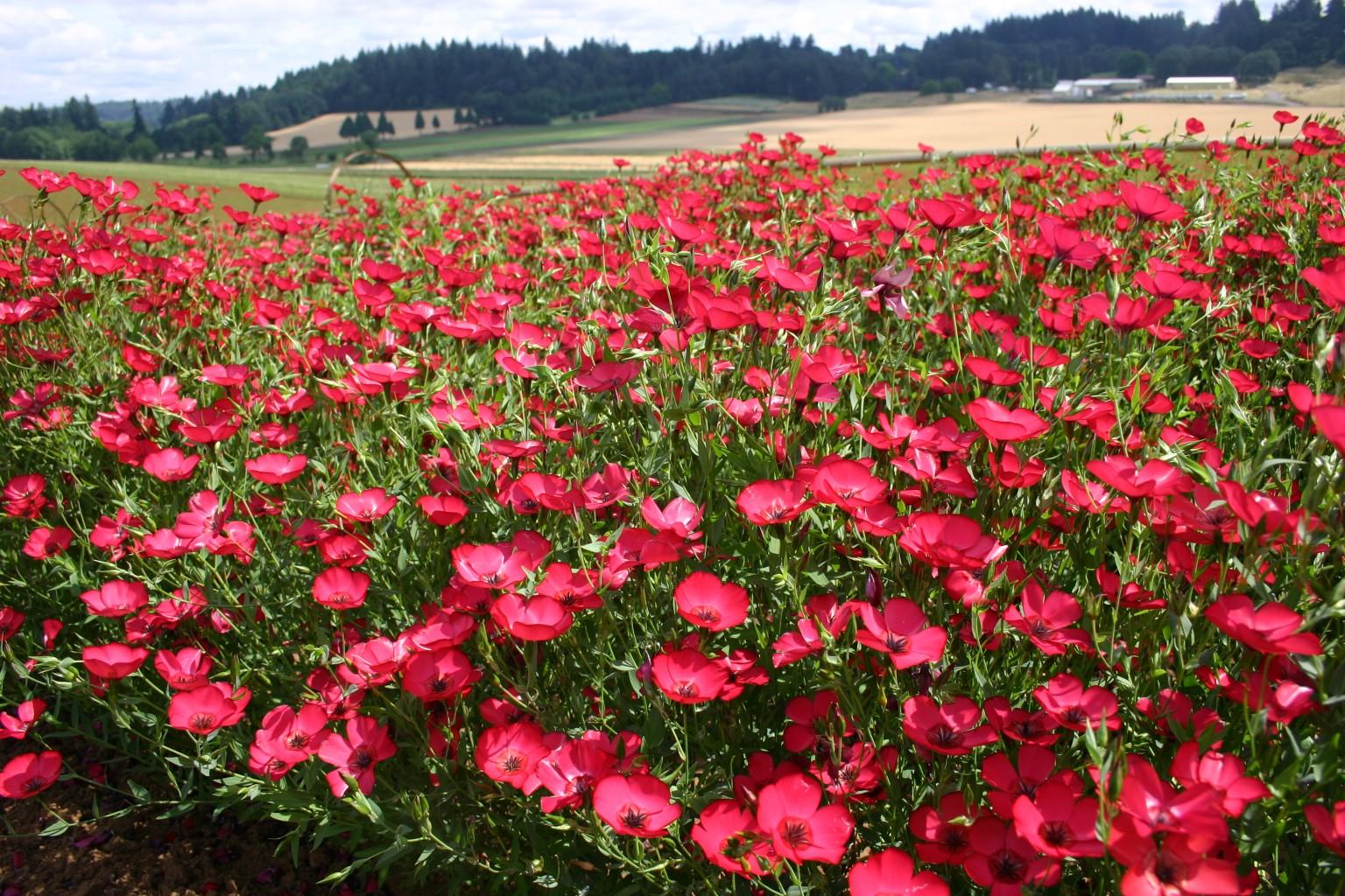 Red Flax Seeds Scarlet Flax Linum grandiflorum