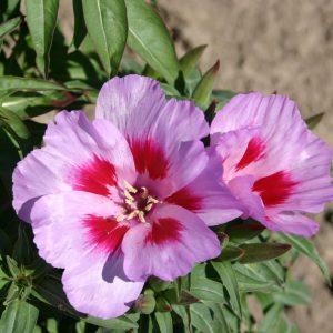 Godetia Cattleya Lilac