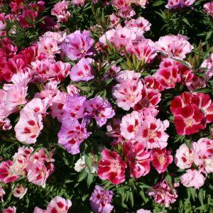 Godetia Double Flowered Azalea