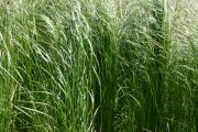 Hairgrass Slender