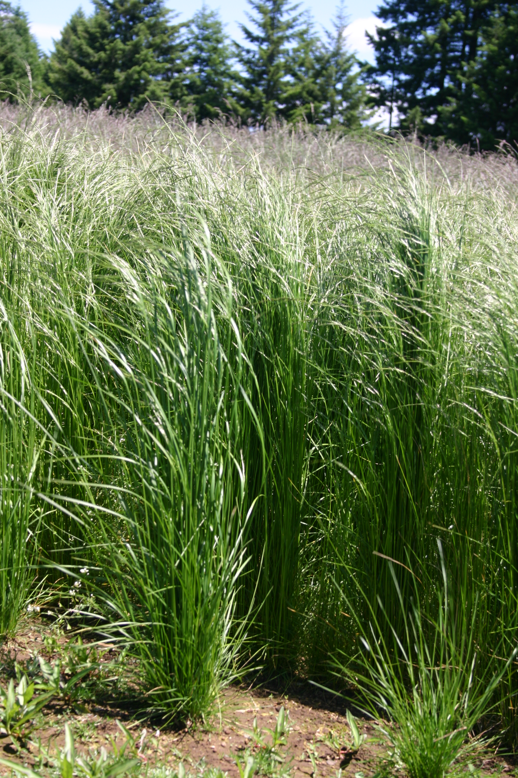 Silver Falls Seed Company Hairgrass Slender