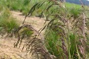 Hairgrass Tufted