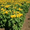 Sunflower Dwarf Sungold Teddy Bear