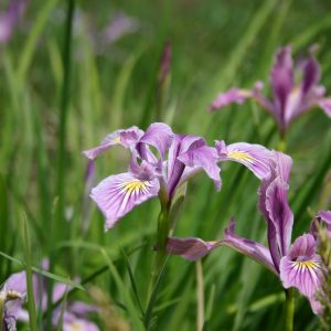 Iris Oregon