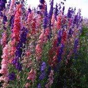 Larkspur Rocket Mix